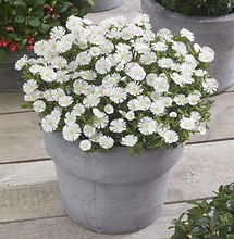 Delosperma Wheels of Wonder White Pot-Ja
