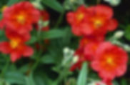 Helianthemum Fire Dragon.jpg