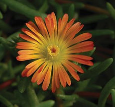 Delosperma_WOW_Orange_Wonder-_Jaldety_©.
