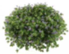 Lindernia plant- Jaldety.jpg