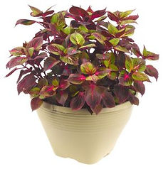 Perilla_Tricolor_Plant_©_-_Jaldety.jpg