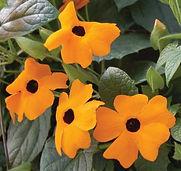 Thunbergia_Sunny_Susy_New_Orange-Jaldety