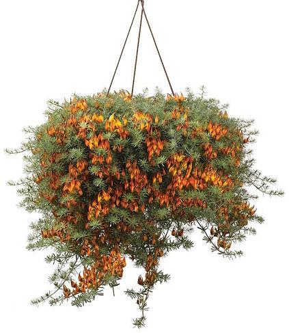 Lotus_Orange_Plant_©-_Jaldety.jpg