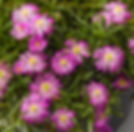 Delosperma_Hot_Pink_-_Jaldety_©.jpg
