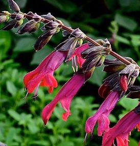 Salvia Amante- Jaldety.jpg