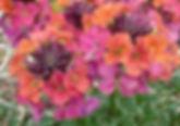 Erysimum Artist Monet's Moment - Jaldety