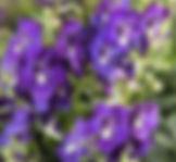 Angelonia Angelos Blue - Jaldety.jpg