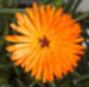 Lampranthus_Orange_-_Jaldety_©.jpg