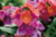 Erysimum Winter Orchid - Jaldety.jpg