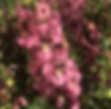 Angelos Pink 2 - Jaldety.jpg