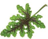 Pelargonium_P._quercifolia_foliage_©-_Ja