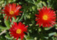 Lampranthus_Red_Orange_-_Jaldety_©.jpg
