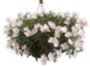 Oenothera_siskiyou_Pink_plant_©-Jaldety.