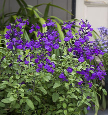 Salvia So Cool Purple.jpg