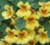Nasturtium_Banana_Split_group_flowers_2_