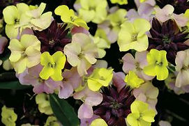 Erysimum Sky Early Sunrise - Jaldety.jpg