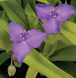 Tradescantia_Gold_Flower-Jaldety_©.jpg