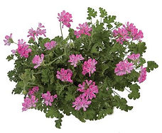 Pelargonium_Pink_Capitatum_plant_©-_Jald