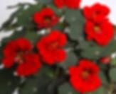 Nasturtium_Red_Wonder_©-_Jaldety.jpg