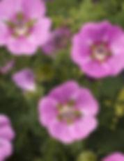Anisodontea Elegans Princess Flower - Ja