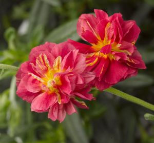 Helianthemum_Cerise_Queen-_Jaldety_©.jpg