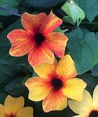 Thunbergia_Orange_Diverse_-_Jaldety_©.j