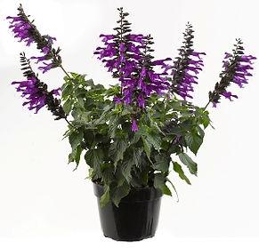 Salvia_Amistad_Plant-_Jaldety_©.jpg