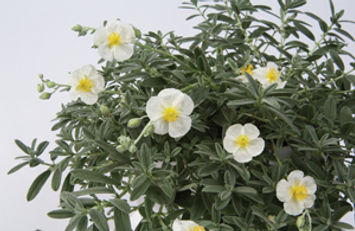 Helianthemum_The_Bride_-Jaldety_©.jpg
