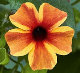 Thunbergia_Sunny_Susy®__Amber_Stripes_-