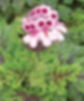 Pelargonium_P.quercifolia_Flower_©-_Jald