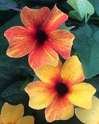 Availability Thunbergia Orange Diverse -
