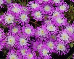 Delosperma WOW Violet Wonder - Jaldety.j