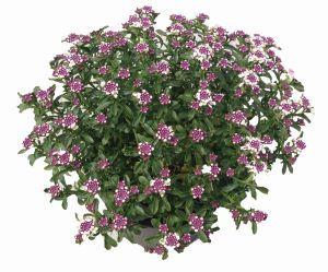 Iberis Pink Ice Plant- Jaldety.jpg