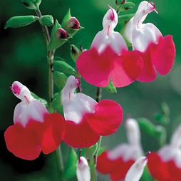 Salvia Hot Lips.jpg