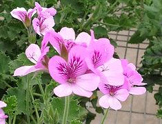 Pelargonium Tornto.jpg