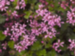 Pelargonium_Pinki_Pinks_flowers_©-Jaldet