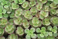 Sedum spurium Purpureum-Jaldety.jpg