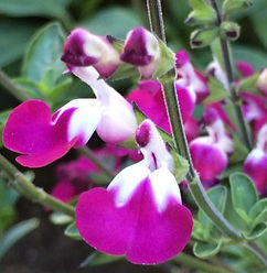 Salvia Cherry Lips - Jaldety.jpg