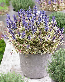 Ajuga Princess Nadia Patio - Jaldety.jpg