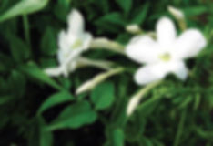Jasminum White.jpg