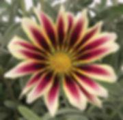 Gazania_Aztec_-_Jaldety_©.jpg
