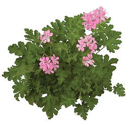 Pelargonium_Sweet_Mimosa_plant_©-_Jaldet