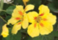 Nasturtium_Banana_Split_flower_©-_Jaldet