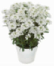 Iberis Masterpiece Plant-Jaldety.jpg