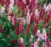Persecaria-Darjeeling-Red.jpg