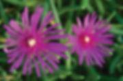 Delosperma_cooperi_Pink_-_Jaldety_©.jpg