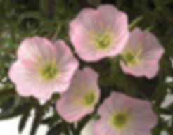 Oenothera_siskiyou_Pink-Flower_©-Jaldety