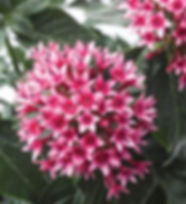 Pentas-_Rocket_Bi-color_©-_Jaldety.jpg
