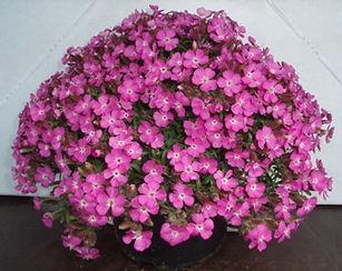 Saponaria_Bressingham_Pink_-_Jaldety_©.j