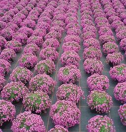 Saponaria_Bressingham_Pink__field_2_-_Ja